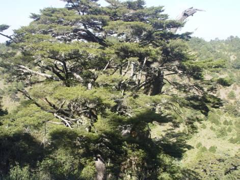 台湾鹅观草